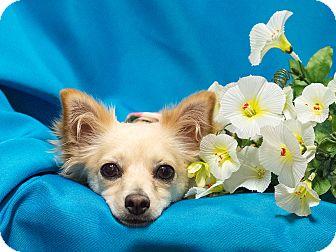 Papillon Mix Dog for adoption in Chandler, Arizona - Daisy