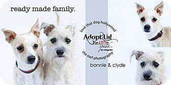 Italian Greyhound/Chihuahua Mix Dog for adoption in Los Angeles, California - Bonnie