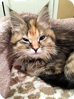 Domestic Longhair Kitten for adoption in Las Vegas, Nevada - Nichole