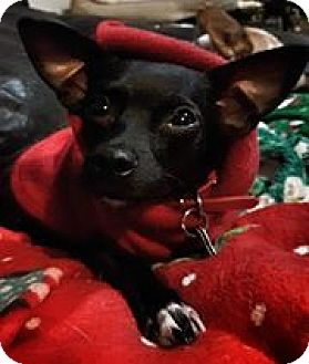 Chihuahua Mix Dog for adoption in Tijeras, New Mexico - Callista