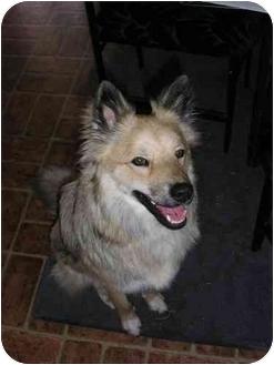 Australian Shepherd Mix Dog for adoption in Scottsdale, Arizona - Courtesy- Ilio