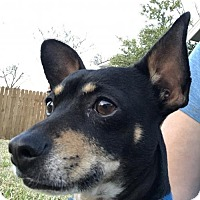 Chihuahua Mix Dog for adoption in Dallas, Texas - Spatz