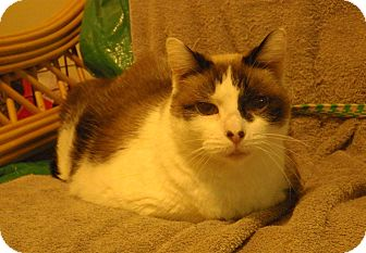 Siamese Cat for adoption in Quail Valley, California - Stormy