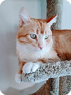 Domestic Shorthair Cat for adoption in Las Vegas, Nevada - Morris