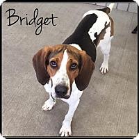 Treeing Walker Coonhound Dog for adoption in Jasper, Indiana - Bridget