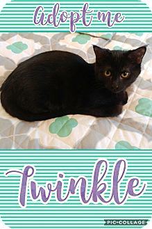 Domestic Shorthair Cat for adoption in Wichita, Kansas - Twinkle