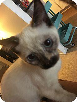 Siamese Cat for adoption in Brea, California - SIMEY