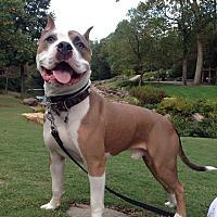 Adopt A Pet :: Gator - Greenville, SC