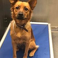 Adopt A Pet :: Lisa Simpson - New York, NY