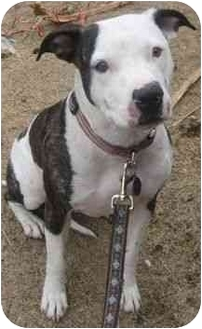 American Pit Bull Terrier/American Staffordshire Terrier Mix Dog for adoption in Gilbert, Arizona - Lola