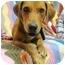 Photo 4 - Labrador Retriever/Basset Hound Mix Dog for adoption in Portsmouth, Rhode Island - Journey