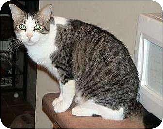 Domestic Shorthair/Domestic Shorthair Mix Cat for adoption in Tucson, Arizona - Antoinette