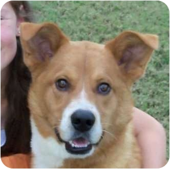 Boxer/Spitz (Unknown Type, Medium) Mix Dog for adoption in Knoxville, Tennessee - Sawyer (TN)