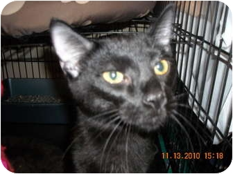 Domestic Shorthair Cat for adoption in Brownsville, Texas - Bradley