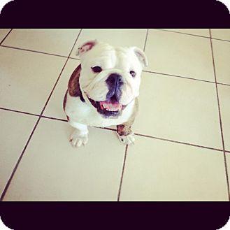 English Bulldog Mix Dog for adoption in Gilbert, Arizona - King