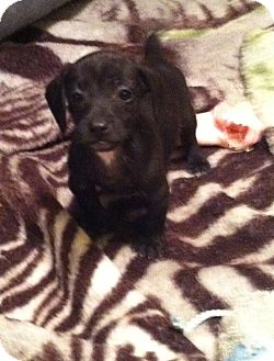 Jack Russell Terrier/Feist Mix Puppy for adoption in Indian Trail, North Carolina - Rowdy