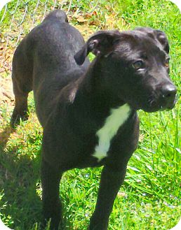 Pit Bull Terrier/Labrador Retriever Mix Dog for adoption in Knoxville, Tennessee - Starr
