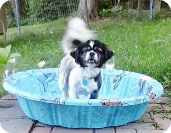 Pekingese Mix Dog for adoption in Vansant, Virginia - Sophie (Rillton, PA)