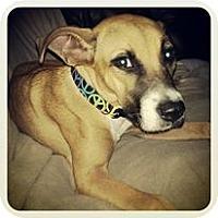Adopt A Pet :: Tiki - Orlando, FL