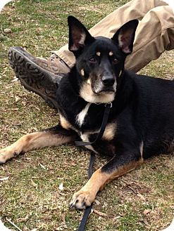 German Shepherd Dog Mix Dog for adoption in Rochester/Buffalo, New York - Katie