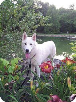 German Shepherd Dog Dog for adoption in Portland, Maine - Olaf