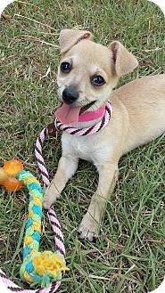 Chihuahua Mix Puppy for adoption in Dallas, Texas - Leia - Peony's Pup