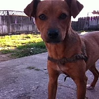Adopt A Pet :: Ginger Harms - Fresno, CA
