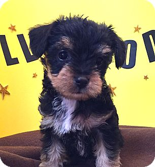 Yorkie, Yorkshire Terrier/Havanese Mix Puppy for adoption in Irvine, California - Rosa