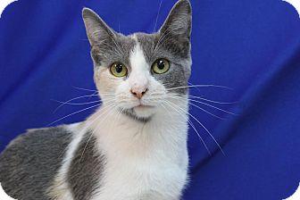 Domestic Shorthair Cat for adoption in Midland, Michigan - Aliscia