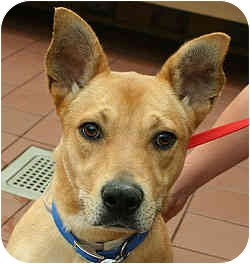 Terrier (Unknown Type, Medium)/Staffordshire Bull Terrier Mix Dog for adoption in Port Washington, New York - Kim