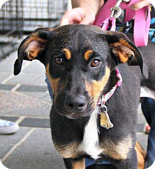 German Shepherd Dog Mix Puppy for adoption in Richmond, Virginia - Ella