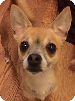 Chihuahua Mix Dog for adoption in Cleveland, Ohio - Pepito