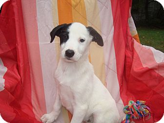 Labrador Retriever Mix Puppy for adoption in Old Bridge, New Jersey - Macala