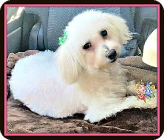 Maltese Puppy for adoption in West Los Angeles, California - Katie