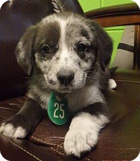 Australian Shepherd/Labrador Retriever Mix Dog for adoption in Beaumont, Texas - Kaya