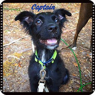 Labrador Retriever Mix Puppy for adoption in Ahoskie, North Carolina - Captain