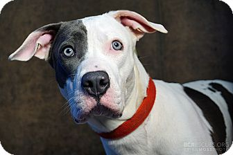 American Pit Bull Terrier Mix Dog for adoption in Cliffside Park, New Jersey - SADIE