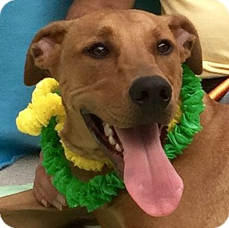 Labrador Retriever Mix Dog for adoption in Evansville, Indiana - Tucker