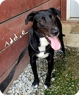 Labrador Retriever/Border Collie Mix Dog for adoption in Lawrenceburg, Tennessee - Addie
