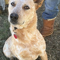 Adopt A Pet :: Rojo - Wichita Falls, TX