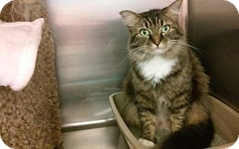 Maine Coon Cat for adoption in Richmond, Virginia - Heather