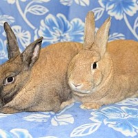 Dutch Mix for adoption in Chesterfield, Missouri - JoEllen and Twinkle
