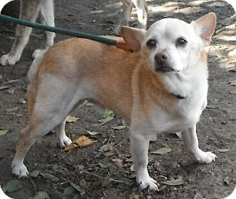 Chihuahua Dog for adoption in Wallis, Texas - Tiger