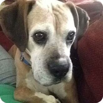 Boxer Dog for adoption in Brentwood, Tennessee - Clara