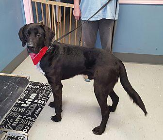 Labrador Retriever Mix Dog for adoption in Maryville, Illinois - Jack