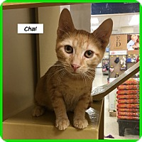 Adopt A Pet :: Chai - Miami, FL