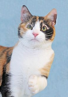 Domestic Shorthair Cat for adoption in Encinitas, California - Missy