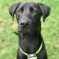 Labrador Retriever/Great Dane Mix Dog for adoption in Greenfield, Wisconsin - Boston