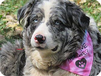 Australian Shepherd Dog for adoption in Kiowa, Oklahoma - Cambree