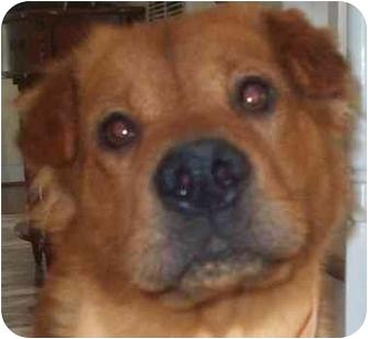 Golden Retriever/Shar Pei Mix Dog for adoption in Chapel Hill, North Carolina - Sadie
